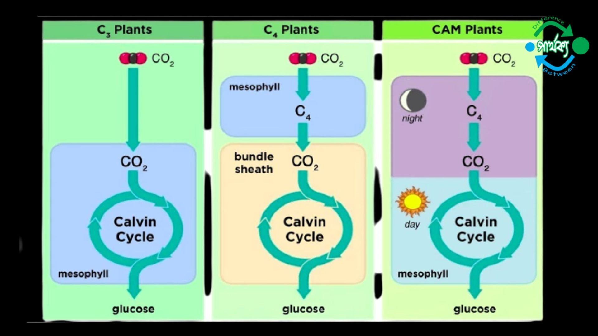 C3 উদ্ভিদ ও C4 উদ্ভিদের মধ্যে পার্থক্য